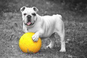 bulldog-601714_1280