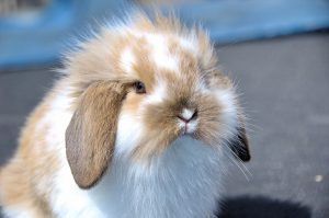 flemish-lop-rabbit-1104748_1280
