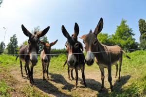 donkeys-896791_1280