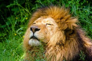 african-lion-951778_1280