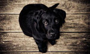 puppy-336707_640